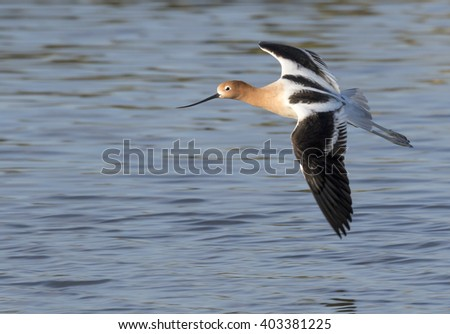 American Avocet (Recurvirostra americana) flying over the ocean, Galveston, Texas, USA.