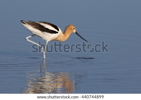 American avocet (Recurvirostra americana) wading in the tidal marsh, Galveston, Texas, USA - stock photo