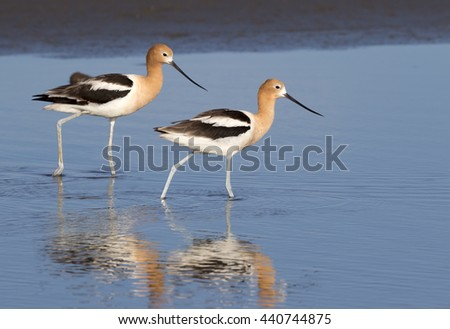 American avocets (Recurvirostra americana) wading in the tidal marsh, Galveston, Texas, USA - stock photo
