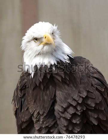 American Bald Eagle - stock photo