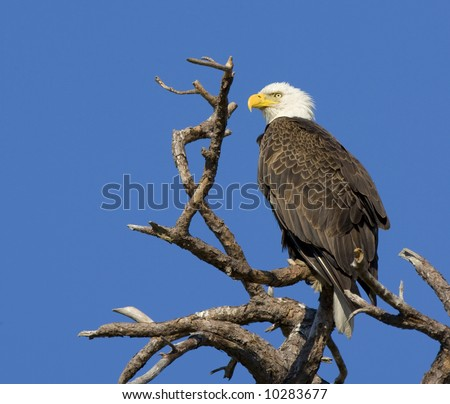 American Bald Eagle against a clear blue sky. - stock photo