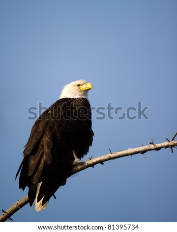 American Bald Eagle against the blue sky of Alaska perched on a tree branch - stock photo