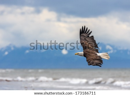 American Bald Eagle at Anchor Point, Homer Alaska - stock photo