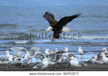 American Bald Eagle attacks the seagull on a beach of Alaska - stock photo