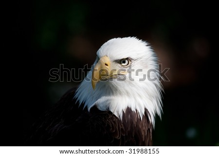 american bald eagle close up of head - stock photo