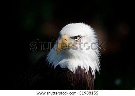american bald eagle close up of head - stock photo