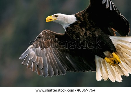 american bald eagle closeup in flight - stock photo