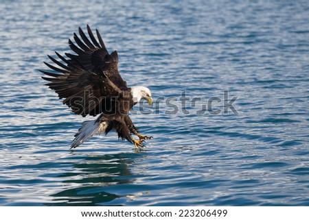 American Bald Eagle diving for fish at Homer Alaska - stock photo