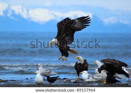 American Bald Eagle flies above the beach - stock photo