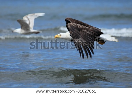 American Bald Eagle flies above the sea - stock photo
