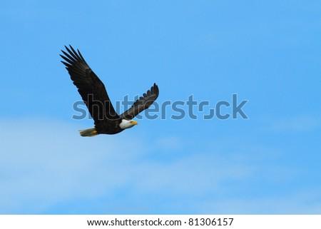 American Bald Eagle flies on blue sky background - stock photo
