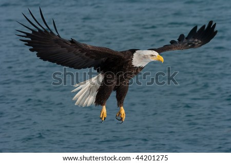 american bald eagle fly fishing over alaskan waters - stock photo