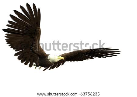 american bald eagle flying - stock photo