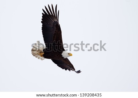 American Bald Eagle flying close to the ground. - stock photo