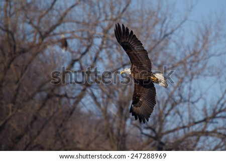 American Bald Eagle flying to spot some fish. - stock photo