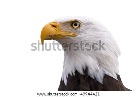 American Bald Eagle  - Haliaeetus leucocephalus isolated on a white background - stock photo