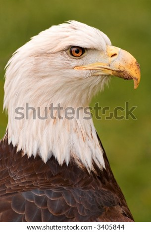 American Bald Eagle (Haliaeetus leucocephalus) Profile looking right- captive bird