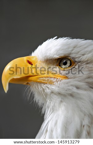 American Bald Eagle  head profile  - stock photo