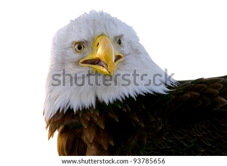 american bald eagle head shot up close with attitude