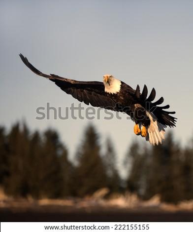 American Bald Eagle Homer Alaska flying into the rising sun - stock photo