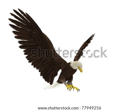 american bald eagle hunting attack