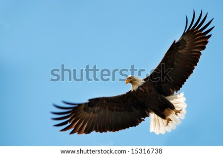 American bald eagle in flight - stock photo