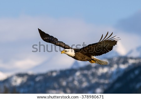 american bald eagle in flight against alaskan mountains