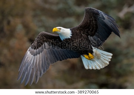 american bald eagle in flight against alaskan mountainside