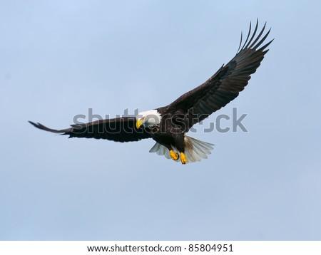 american bald eagle in flight against cloudy alaska winter sky, nice light on face - stock photo