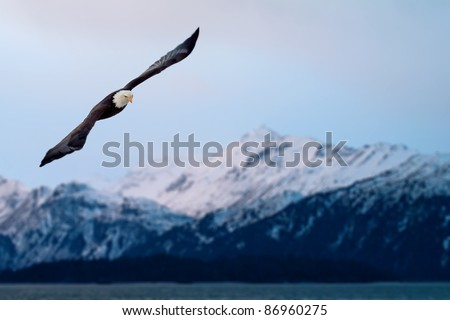 american bald eagle in flight, composite with alaska coastal mountains of same day