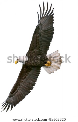 american bald eagle in flight, cutout onto white background - stock photo