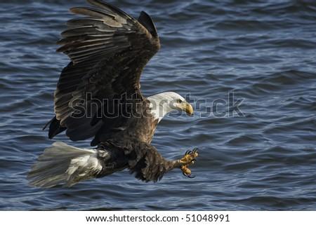 American Bald Eagle in flight fishing - stock photo