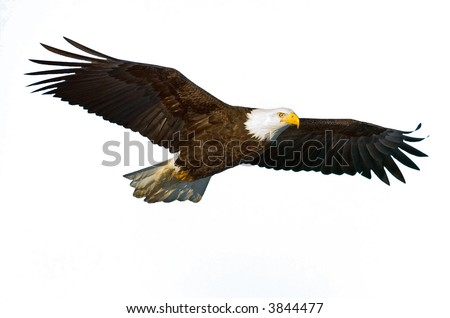 american bald eagle in flight isolated on white and nice light on face - stock photo