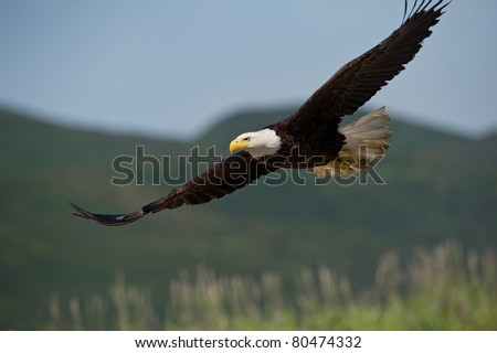 american bald eagle in flight over alaskan coastal mountains, nice light on face - stock photo