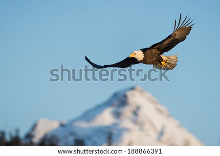 american bald eagle in flight over alaskan snow covered mountains and against clear blue sky - stock photo