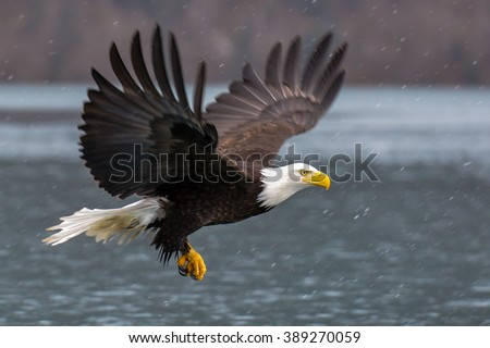 american bald eagle in flight over alaskan waters - stock photo