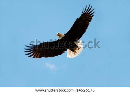 American bald eagle in flight over clear blue sky - stock photo