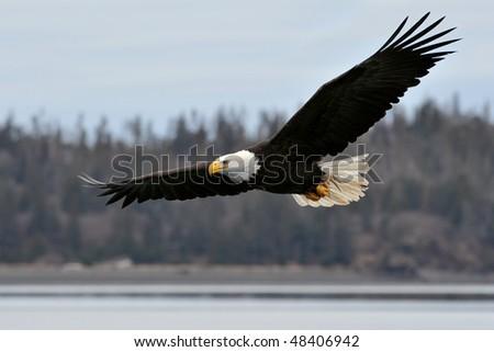 american bald eagle in flight over coastal alaska shoreline - stock photo