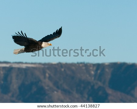 american bald eagle in flight over coastal mountains of alaska