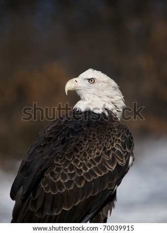 American Bald Eagle in the winter - stock photo