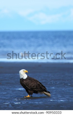 American Bald Eagle  is on a beach - stock photo