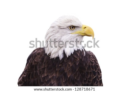 American Bald Eagle isolated on a white background. - stock photo