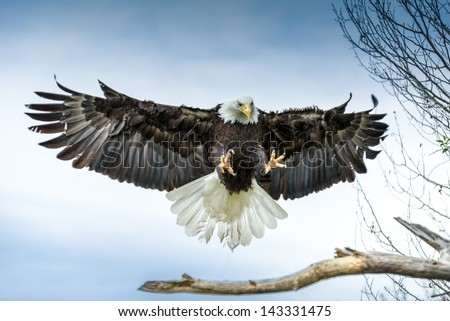 American Bald Eagle landing on a branch - stock photo