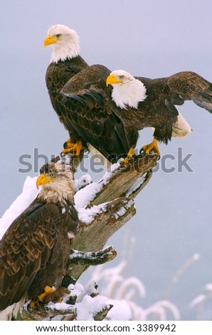 american bald eagle landing on tree stump in alaskan snow storm - stock photo