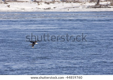 american bald eagle looking for food - stock photo