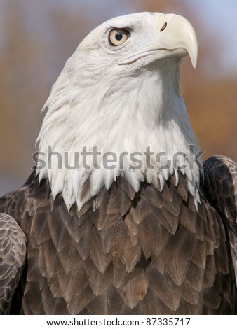 American Bald Eagle on an Autumn day. - stock photo