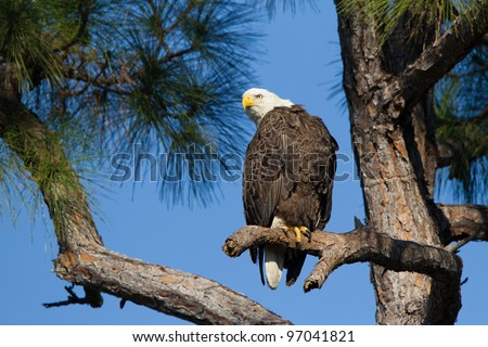American Bald Eagle on branch - stock photo