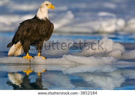 american bald eagle on ice patch in icy alaskan water - stock photo