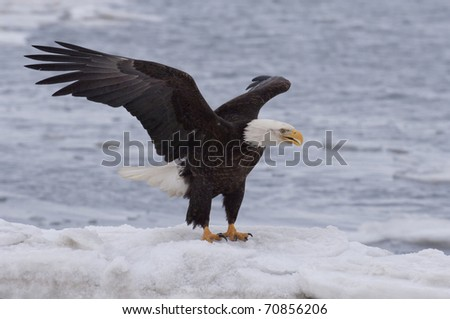 American Bald Eagle on ocean ice with wings raised ready to take off