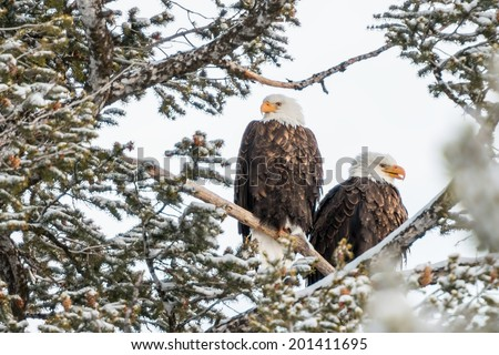 american bald eagle pair resting in fir tee in yellowstone national park - stock photo